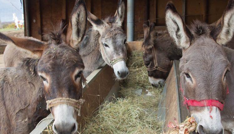 Najpoznatija farma magaraca na planeti