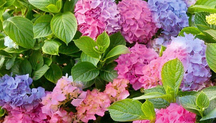 Otrovne biljke koje možda imate u svojoj bašti ili kući