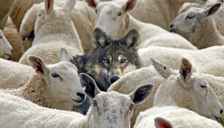8 znakova da ste vuk u svijetu punom ovaca