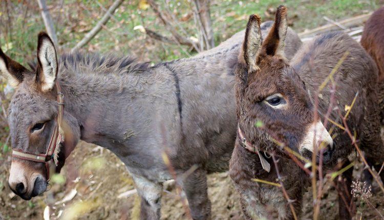 Prvi Muzej magarca u Crnoj Gori